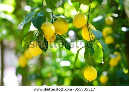 Bunch of fresh ripe lemons on a lemon tree branch in sunny garden