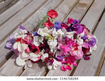 Bunch of Freshly Picked Sweet Peas (Lathyrus odoratus) from a Country Cottage Garden in Rural Devon, England, UK #1146768284
