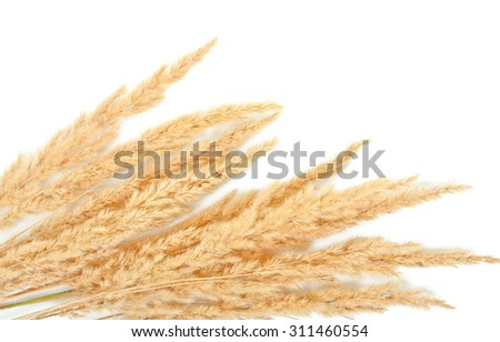Bunch of furry, meadow, dry grass isolated on white background. #311460554