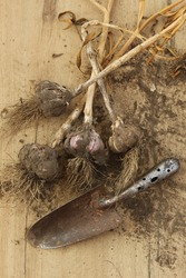 bunch of garlic and old metal hovel on the wooden background with soil. natural presentation of spices, monochrome