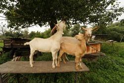 Bunch of goats after feeding on summer farmyard.