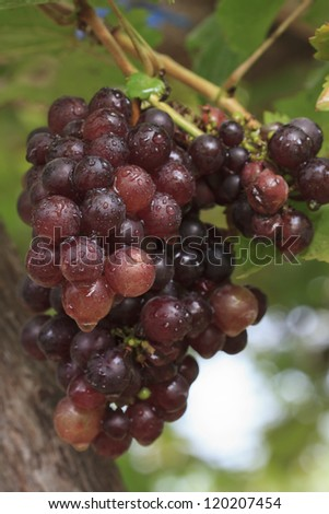 Bunch of  grapes at a grapevine