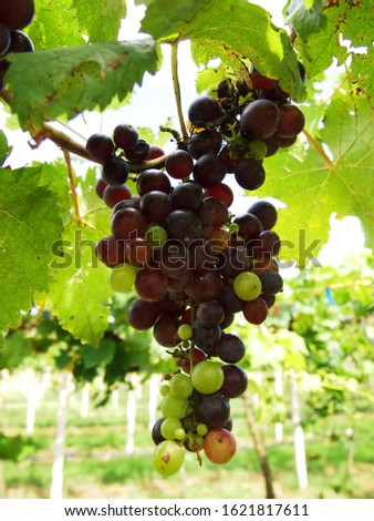 Bunch of grapes. Bunch of grapes in the vineyard waiting for to be harvest.