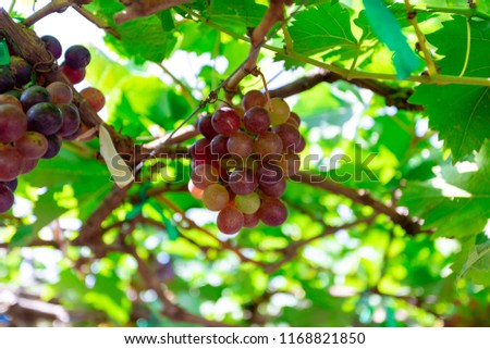 Bunch of grapes in the garden #1168821850