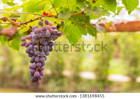 Bunch of grapes in the vineyard #1381698455