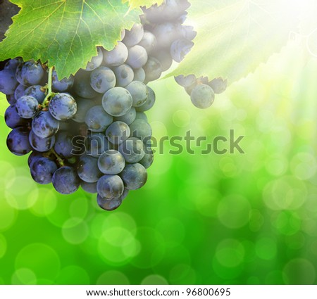 Bunch of grapes on grapevine at sunlight - stock photo