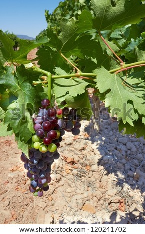 Bunch of grapes on grapevine in vineyard