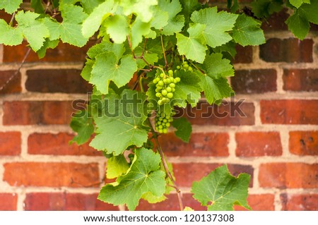 Bunch of grapes on grapevine. Shallow DOF