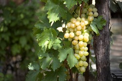 bunch of grapes on the vine with green leaves