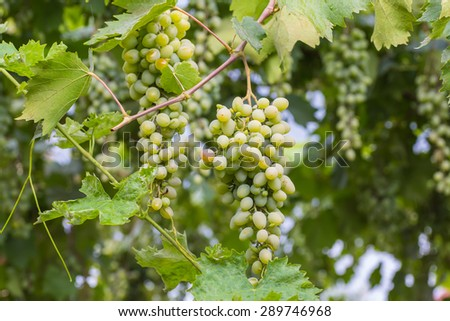 Bunch of grapes with green vine leaves in basket on wooden table against vineyard background in spring