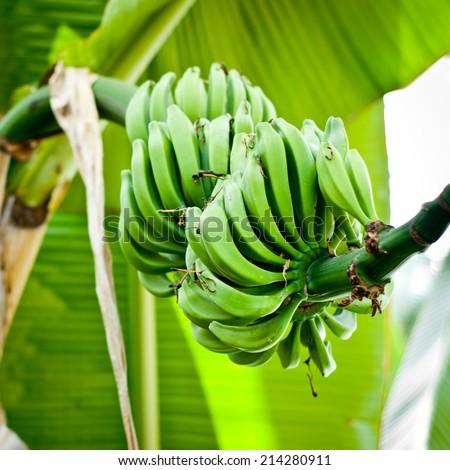 Bunch of green bananas on tree. Bushel of fresh bananas in nature.