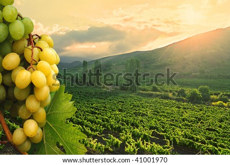 Bunch of green grapes on vineyard background.