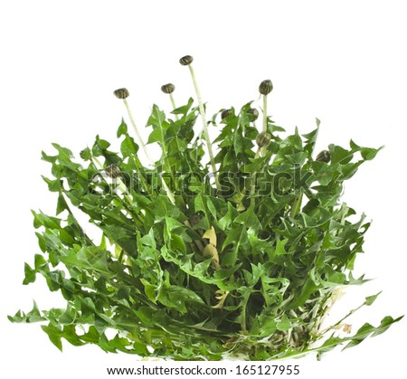 bunch of green leaves dandelions ( taraxacum ) isolated on white background