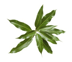 Bunch of green mango leaves on white background.