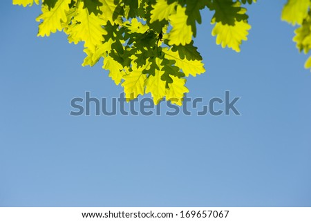 Bunch of green oak leaves in bright sunlight on blue sky in spring time. Oak is a tree or shrub in the genus Quercus. Photo taken in Poland, horizontal orientation, nobody.