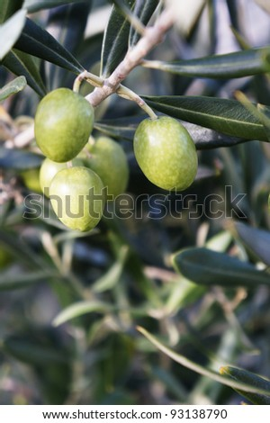Bunch of green olives growing amongst the branches