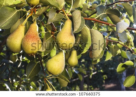 bunch of green pears hanging on a branch with leafes