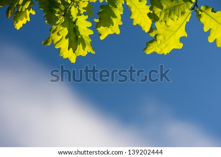 Bunch of green young oak leaves in sunlight on blue sky in spring time. Oak is a tree or shrub in the genus Quercus. Photo taken in Poland, horizontal orientation, nobody.