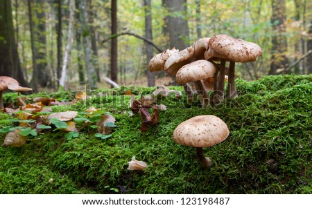 Bunch of Honey Fungus  grows on moss wrapped broken tree closeup