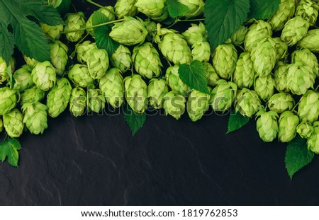 Bunch of hops cones with leaves on black stone background. Hops herb for brewery. Ripe hop cones for herbal natural medicine.