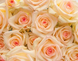 Bunch of ivory roses with pink center (for background)