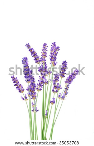 Bunch of Lavender on a White Background