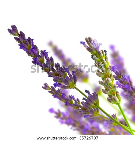 bunch of lavender on blurred background