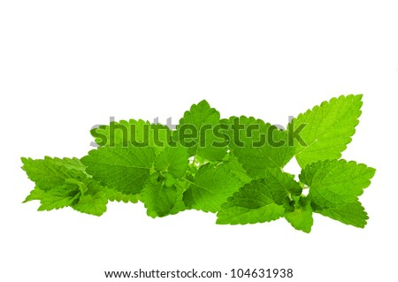 bunch of  lemon balm isolated on white