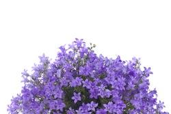 Bunch of little purple flowers