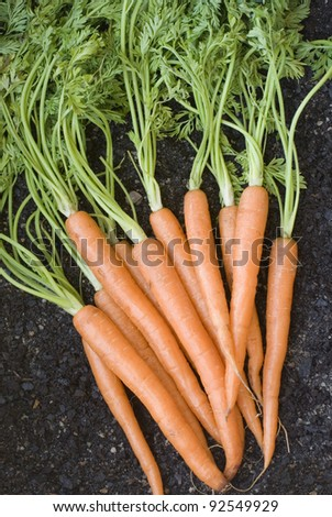 Bunch of lovely clean fresh orange carrots with their leaves , vertical.