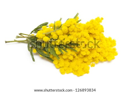bunch of mimosa isolated on white background