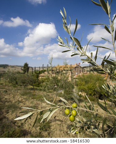 bunch of olives with background on the farm