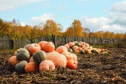 bunch of orange pumpkin in russian village in autumn