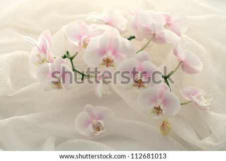 Bunch of Orchid flowers / phaelenopsis , close up