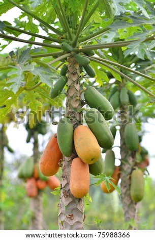 Bunch of papayas hanging from the tree