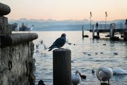 Bunch of pigeons and seagulls sitting on concrete near lake Zurich Switzerland 2020
