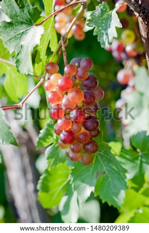 Bunch of pink grapes in garden at sunshine #1480209389