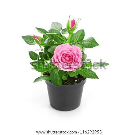 Bunch of pink roses in flowerpot. #116292955