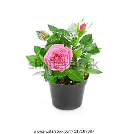 Bunch of pink roses in flowerpot. #119189887
