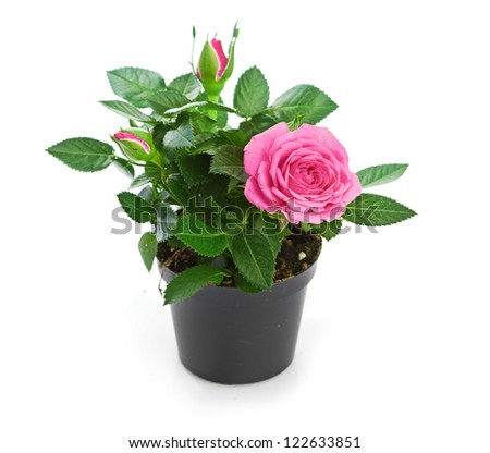 Bunch of pink roses in flowerpot.  isolated on white background #122633851