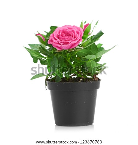 Bunch of pink roses in flowerpot.  isolated on white background