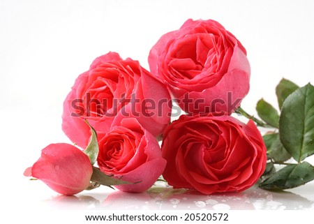 bunch of pink roses isolated on white
