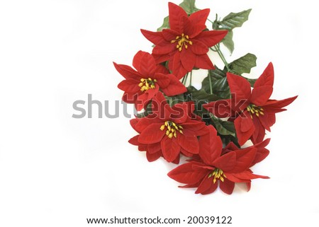 bunch of poinsettia isolated over a white background