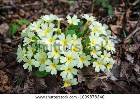 Bunch of primroses (Primula sp.)