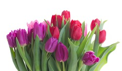 bunch of red and purple tulip flowers  isolated on white background