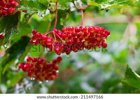 Bunch of Red Berries of Viburnum (Guelder rose) in garden after rain, soft focus