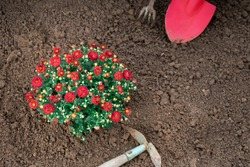 Bunch of red chrysanthemum flowers just planted into the garden bed outdoors with garden tools
