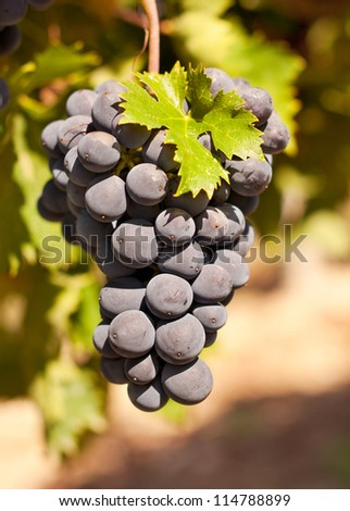 Bunch of red grapes on a vine