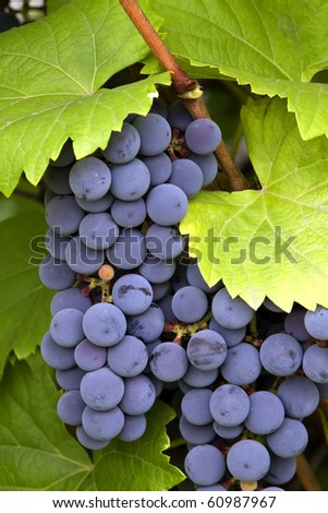 bunch of red grapes with leaves