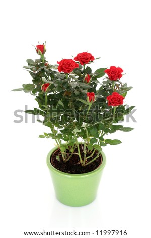 bunch of red roses in pot isolated on white #11997916